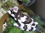 Amazonian Milk Frog (Phrynohyas resinifictrix)